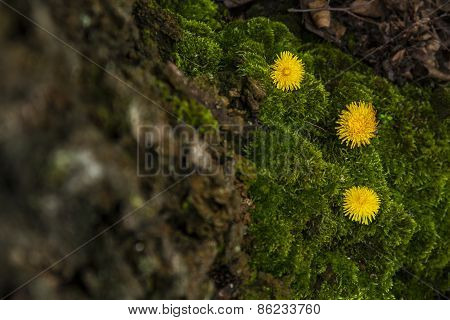 Moss with dandelion