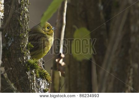 yellowhammer in the forest, Bussang, Vosges, France