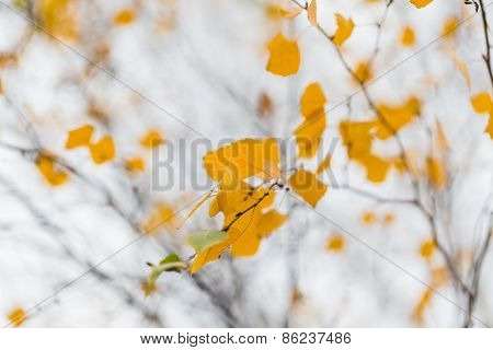 Autumn Birch Brach