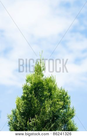 Cypress With Clouds Background