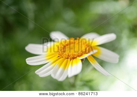 single daisy isolated on green background - shallow DOF