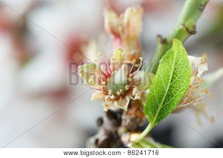 Early stage of almonds growing on a almond tree branch- almond flowers as background