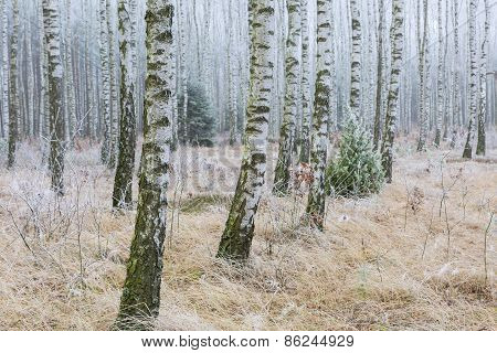 Frosty Birch Forest