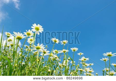 White camomiles on blue sky background