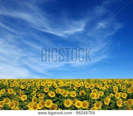 sunflowers field on sky background