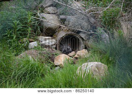 Peaceful sleep - Arctic Fox