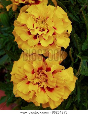 two marigold flowers natural background