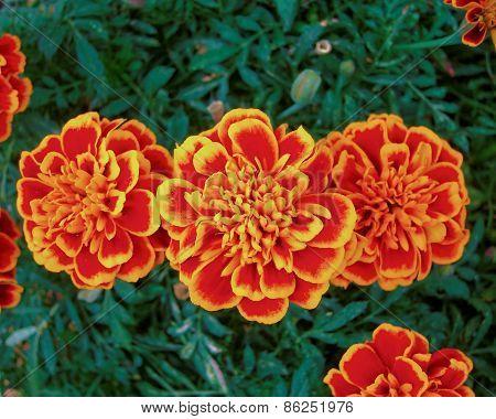 orange marigold flowers close up, natural background
