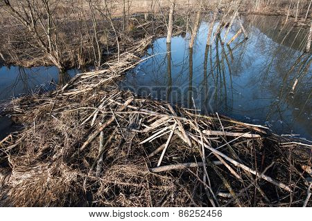 Beaver dam.