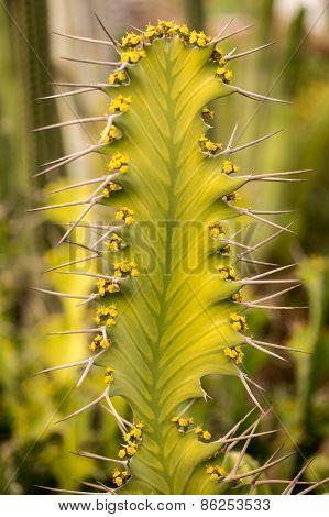 Prickles A Cactus Closeup