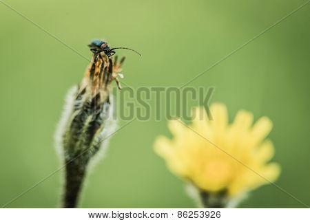 Insect Beetle On Inflorescence Flower