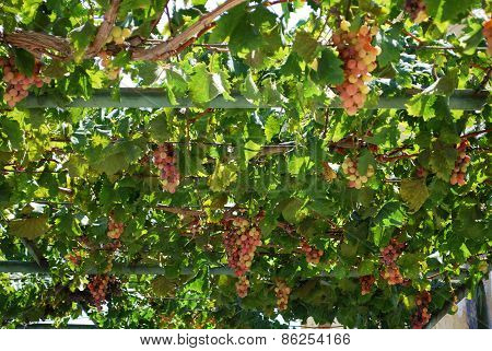 Ripe grapes hanging on the vine.