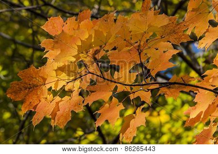 Maple Leaves in Fall