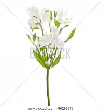White Alstroemeria isolated on white background.   Focus on central  flower.