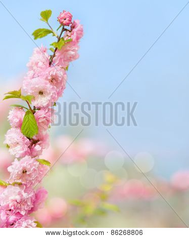 Branch with beautiful pink flowers (Amygdalus triloba). Very shallow depth of field.  Selective focus