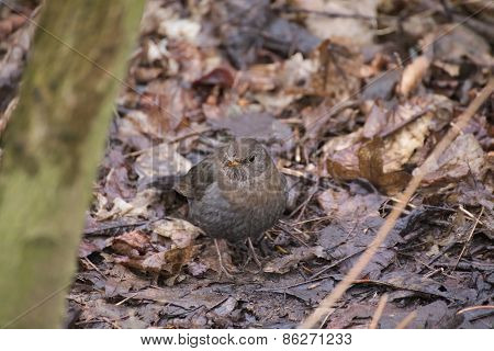 Female Blackbird (turdus Merula) On Leaves
