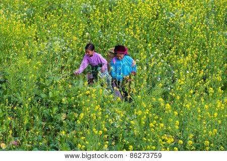 Ha Giang / Vietnam - Circa Feb 2015:  H'mong People Is  Walking On The Broccoli Flowers Fields At Do