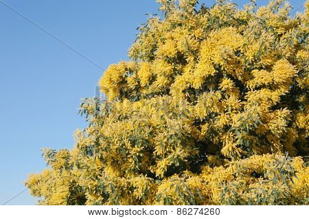 Mimosa tree with yellow flowers in March