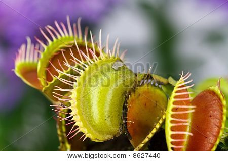 Dionaea muscipula , known as flytrap, in closeup, isolated on nature  background