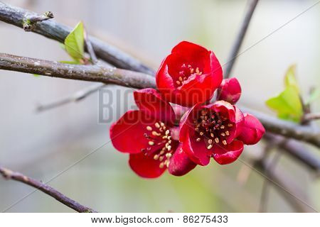 red quince flowers