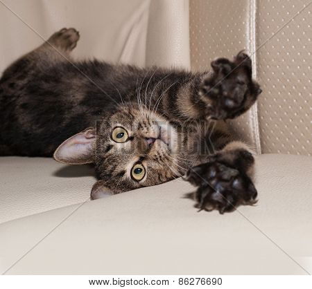 Tabby Cat Playing On Leather Sofa