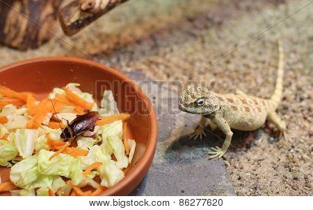 Savignys Agama (trapelus Savignii) With Food