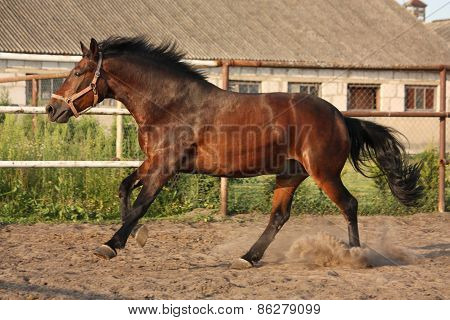 Brown horse running in paddock