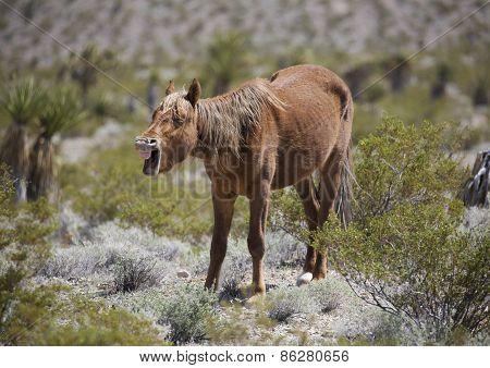 Yawning wild horse