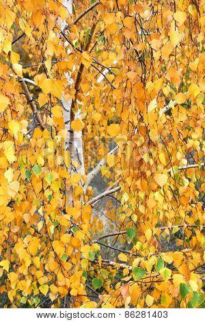 Yellow Birch Leaves