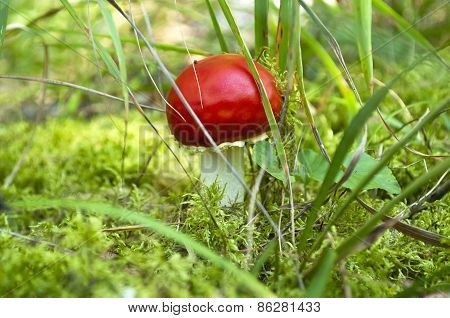 Beautiful Red Mushroom At The Forest.