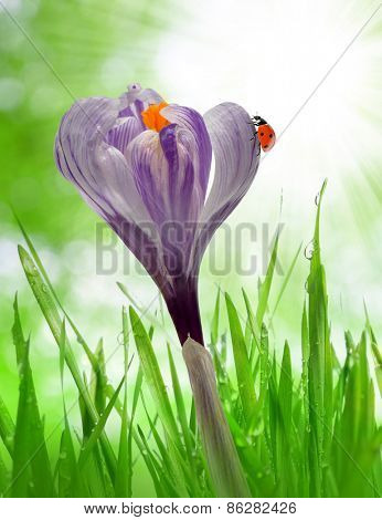 Crocus flower in dewy green grass and ladybird. Spring season.