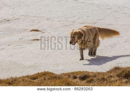 Golden retriever dog running on snow
