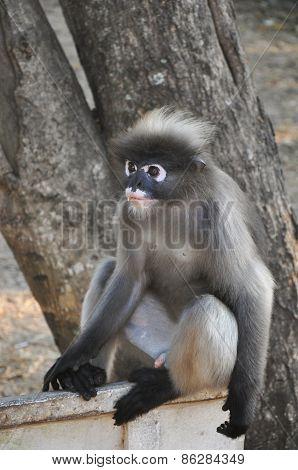 Dusky Leaf Monkey.