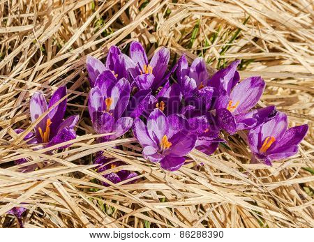Crocus Flowers In The Dry Grass