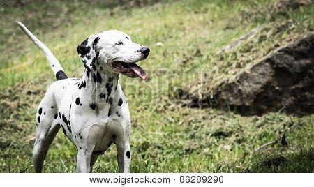 Dalmatian Tired