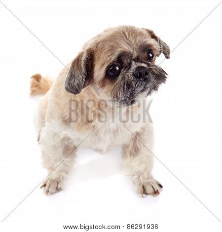 Beige Doggie Of Breed Of A Shih-tzu