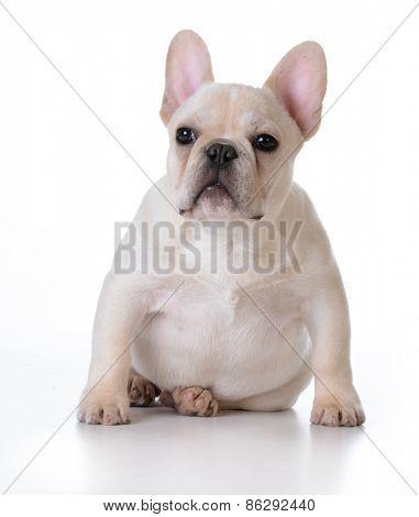 cute puppy - french bulldog puppy sitting on white background
