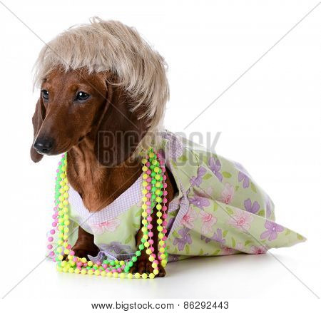 female dog - miniature dachshund wearing wig and clothing on white background
