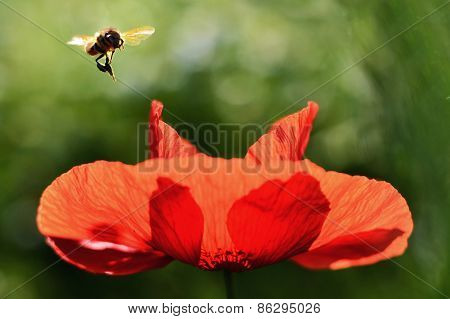 Bee is flying over the Poppy