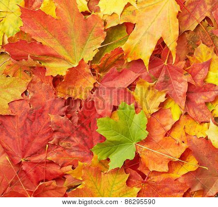 Surface covered with colorful maple leaves