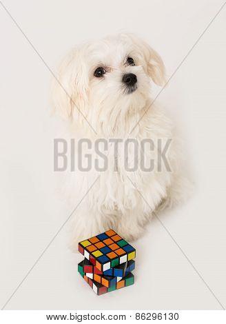 Maltese puppy,