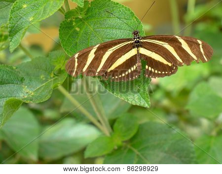 Butterfly brown and yellow striped