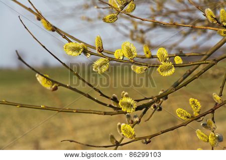 Branches Of Blooming Yellow Catkins.