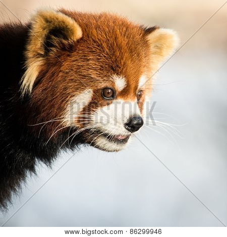 Red Panda IV