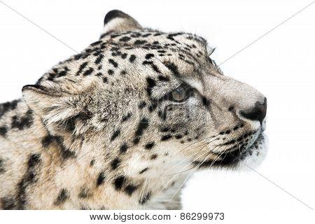 Snow Leopard IX