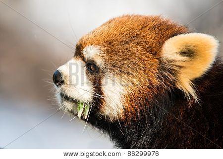 Red Panda IX
