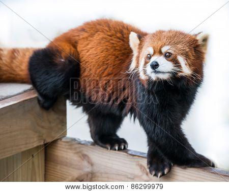 Red Panda VI