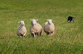 picture of sheep-dog  - Trio of Sheep Herded in by Stock Dog  - JPG