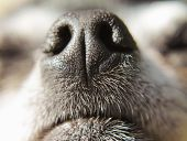 picture of chihuahua mix  - close up of a chihuahua - JPG