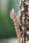 picture of chameleon  - a cute Chameleon  - JPG